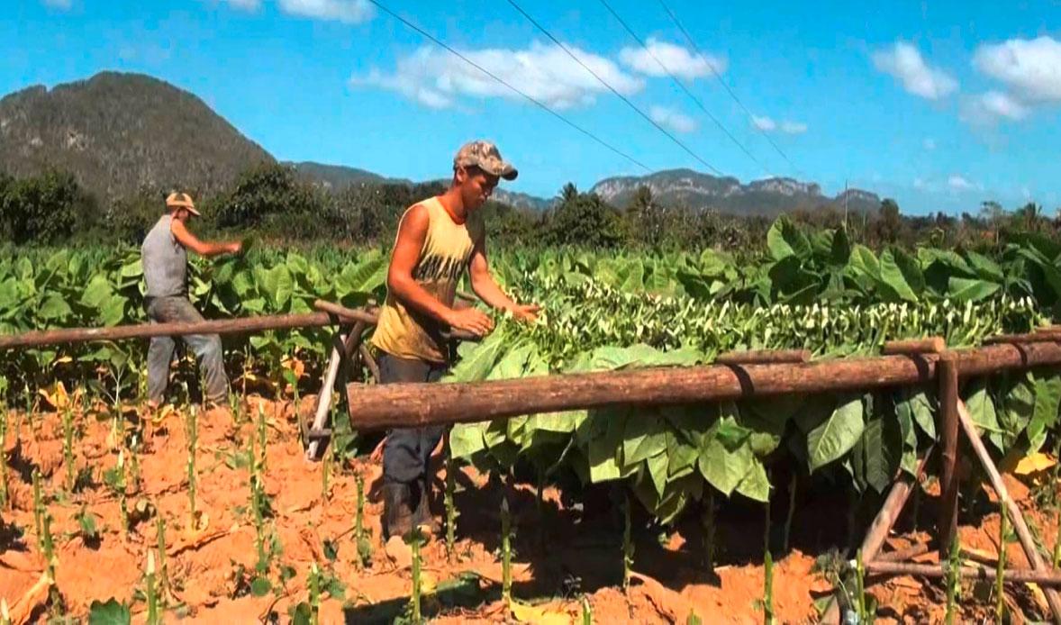 tabakplantage