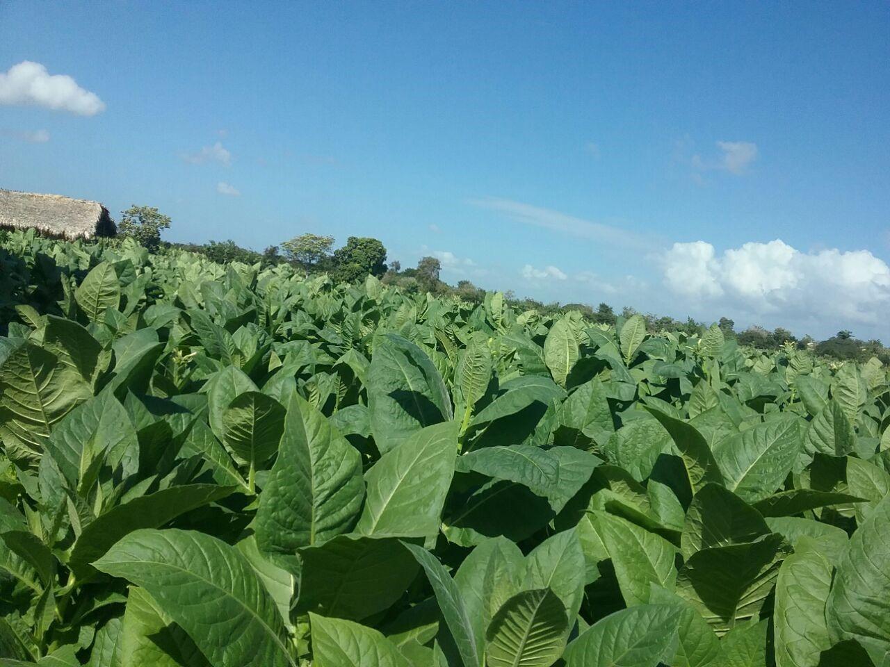 Tabak Plantage in der dominikanischen Republik. Aus diesem Tabak werden die Los Hermanos Zigarren hergestellt