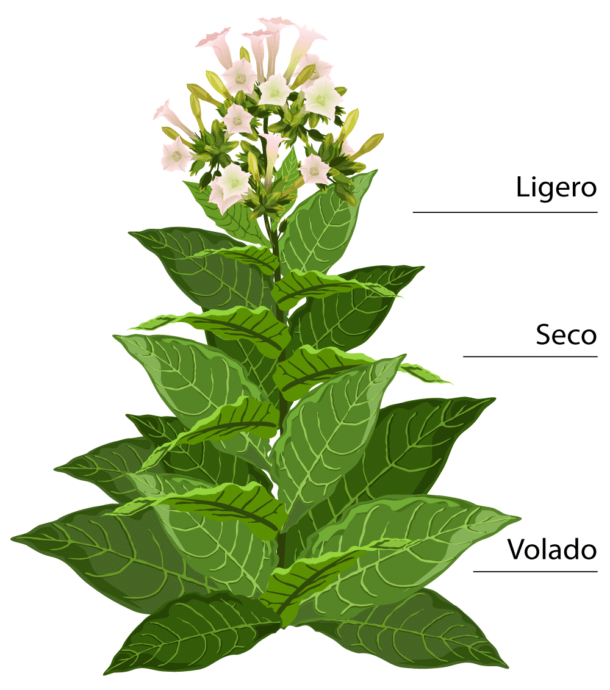 Grafik Tabakpflanze